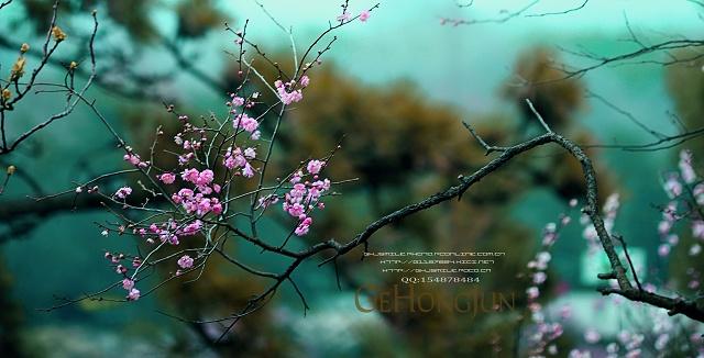 """""""疏影横斜水清浅,暗香浮动月黄昏""""这是流传千古的咏梅名句,每当梅花那红色和暗紫色的花瓣向人们绽定笑脸,一簇簇的花朵在寒风中摇曳,散发出阵阵清香时,就令人心旷神怡,也令摄影人为之痴迷。国内著名摄影师葛宏军拍的这组梅向我们展示了梅花经过与严寒风雪作斗争才绽开了美丽的花朵,告诉人们春天到来的消息,让我们一起来欣赏这组梅之摄影精品!"""