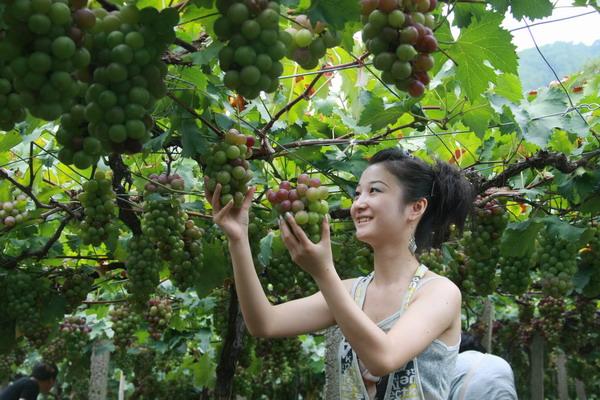 宋村摘葡萄