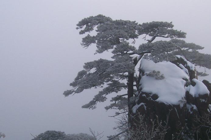 壁纸 风景 树 松 松树 693_462