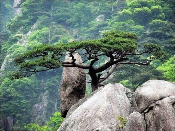 黄山奇石图片之喜鹊登梅.jpg