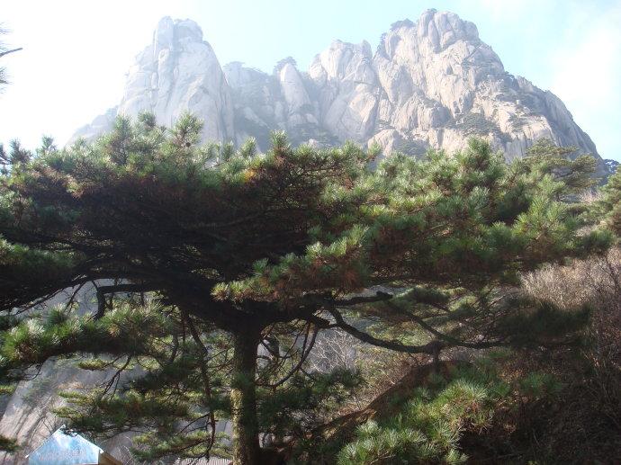 黄山奇松蒲团松,背景为黄山最高峰莲花峰.jpg