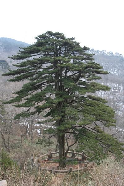 黄山十大名松之团结松,56个树干就代表56个民族相互团结.jpg