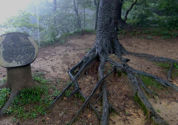 黄山奇松 黄山十大名松龙爪松,因其袒露在地面的根象龙的爪而得名.jpg