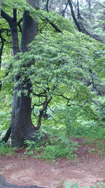 在龙爪松旁边的一棵黄山松长着一株杜鹃花,枝干依偎着龙爪松.jpg