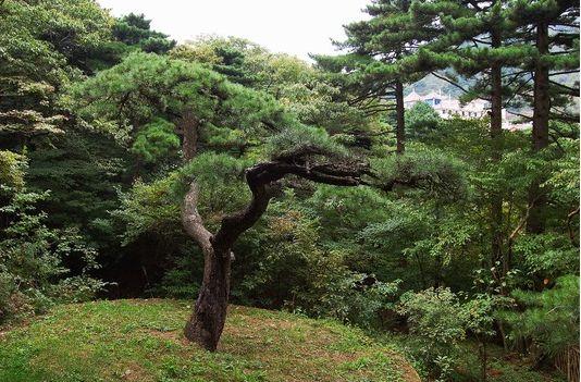 黄山奇松、黄山十大名松之麒麟松状如麒麟,数百年来象一位将军一样守护着黄山狮子林禅院.jpg