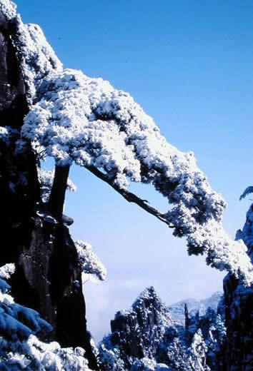 冬季迎霜傲雪的黄山探海松.jpg