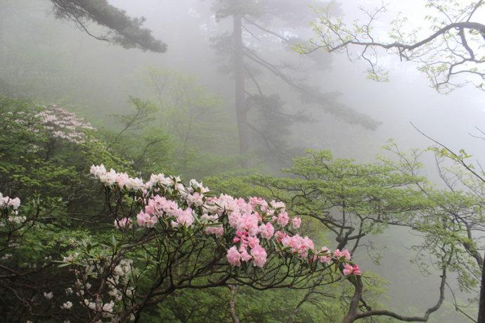 黄山游记:五月黄山旅游-盛开的黄山杜鹃花.jpg