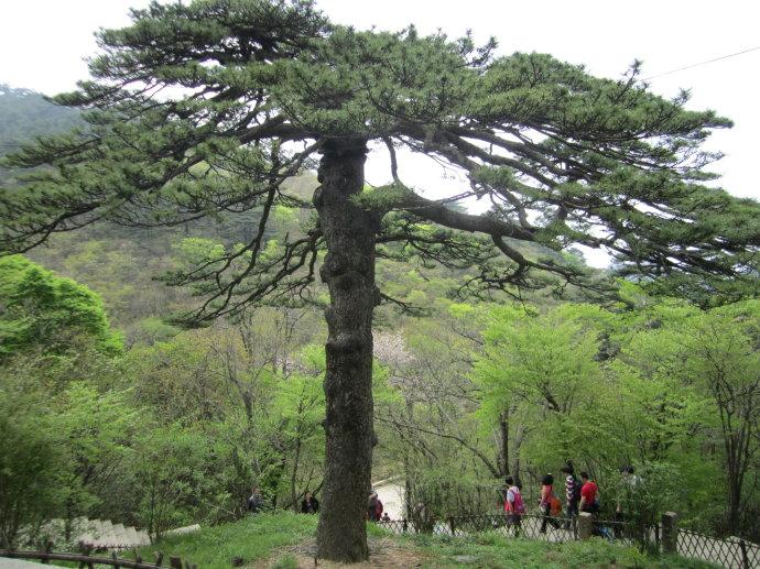 黄山奇松、黄山十大名松黑虎松,位于黄山始信峰至北海岔道口.jpg