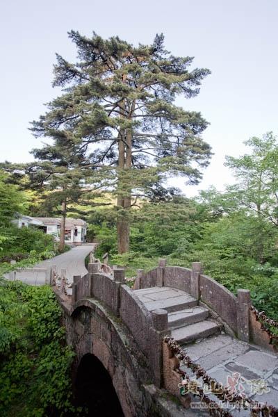 """在黄山始信峰""""同心桥""""旁的连理松,来黄山旅游的夫妻或恋人可在此锁把同心锁以表爱情忠贞.jpg"""