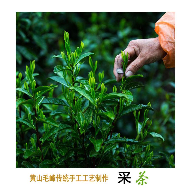 黄山毛峰传统手工工艺制作――采茶.jpg