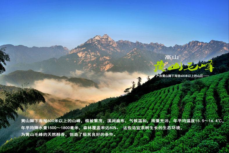 黄山毛峰适宜的生长环境.jpg